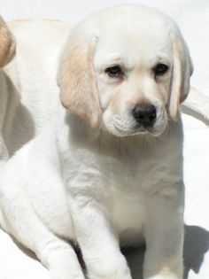 white lab | Labrador Retriever: Labrador pups photos