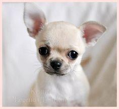 Courtesy of Tamara Denezhkina, for her beautiful Chihuahuas, at Legenda Toltekov