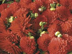 You can get flowers sooner by potting up dahlia tubers, growing them indoors until it's warm enough to transplant them out into the garden after the weather warms up. Pot them up in rich soil and give them plenty of light. Click dahlia photo to read entire gardening article: Start dahlias indoors to get early blooms by Paul Barbano