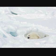 Napping Harp Seal, Seals, Polar Bear, Baby, Animals, Animales, Animaux, Seal, Animal