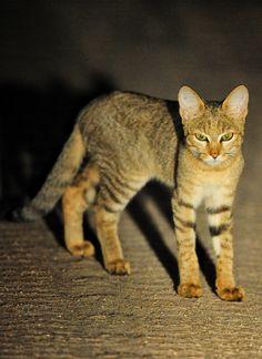 African Wild Cat taken on a guided night drive at Lukimbi Safari Lodge Nocturnal Animals, Rare Animals, Safari Animals, Lion Images, African Wild Cat, African Safari, Kruger National Park, National Parks