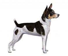 We have a Rat Terrier Smart dog! Little Puppies, Little Dogs, Dogs And Puppies, Rat Terrier Puppies, Rat Terriers, Mountain Feist, Dog Dna Test, Dog Items, Rats