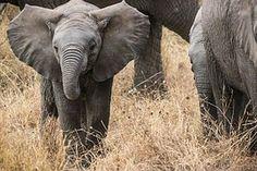 Baby Olifant, Safari, Olifanten
