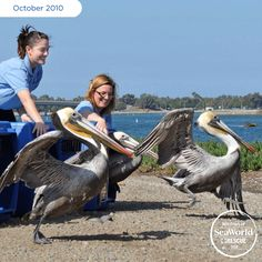Three pelicans were blown off course and injured as a result of storms and strong winds from monsoons moving through Mexico. They were rescued and stabilized at the Tucson Wildlife Center and then transferred to SeaWorld for rehabilitation and am eventual return to the wild! #365DaysOfRescue