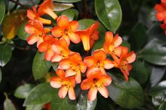 Rhododendron 'Golden Charm' 2 Shrubs, Nursery, Yard, Charmed, Friends, Plants, Amigos, Patio, Baby Room