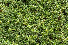 Green wall with ivy background - Stock Photo - Images