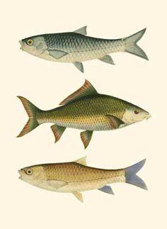 vintage fishing posters | Antique Fish I Poster by Ernest Briggs at Barewalls.com