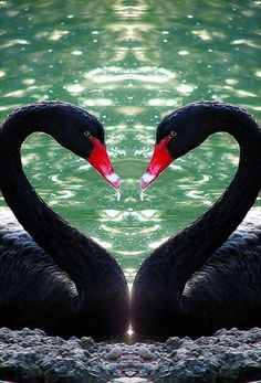 Swans   Pets and Animals Pictures   Cutest Paw