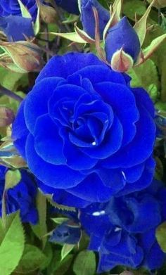 By Artist Unknown. Beautiful Rose Flowers, Exotic Flowers, Amazing Flowers, Beautiful Flowers, Rose Images, Rose Pictures, Most Popular Flowers, Blue And Purple Flowers, Rosa Rose