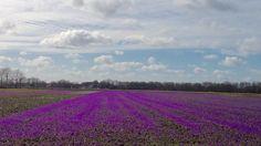 Een bloeiend krokusveld (foto: Tiny Post)