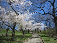 #sakura in #highpark #Toronto #canada