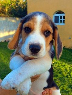 Amazing Snoopy Beagle Beagle Adorable Dog - a018f4bf175a7d6863624b3f0060f682--beagles  Gallery_80165  .jpg
