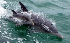 So lucky I've been able to see this little fella a few times in the last couple of weeks. Baby dolphin delights Mandurah onlookers - The West Australian