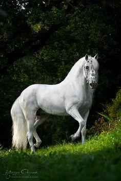 PRE stallion Armas Avellano PRE Blanka Satora - Show Poland © Katarzyna Okrzesik