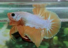Live Fish, Betta Fish, Aquarium Fish, Fresh Water, Pet Supplies, Dragon, Fancy, Pets, Animals