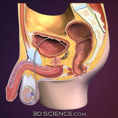 Muscles of the Pelvis and Perineum, such as: the internal and external anal sphincters, the urogenital diaphragm, the bulbospongiosus muscle, the abdominal wall and insertions of erector spinae muscles.  -Sacrum and Pubic symphysis  -Rectum  -Bladder  -Prostate  -Testis internal structure  -Scrotal septum  -Ductus (vas) deferens  -Corpi cavernosum and spongiosum