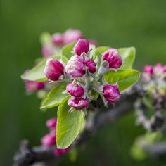 Kirschblütenknospen im Frühling