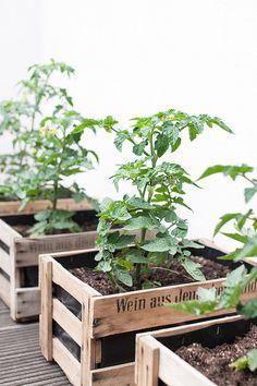 Das Hochbeet ist bereits voll - da kamen mir diese alten Weinkisten gerade recht, um noch ein paar Tomaten zu pflanzen. Mal schauen, ob ich mit der Ernte Glück habe