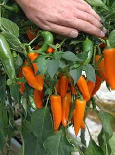 Chilli Pepper Topaz: This new cayenne chilli pepper grows to abaout 18in tall and gives a heavy and very attractive crop of conical fruit which are yellow orange at maturity. Its a spicy fairly hot one which we like in stir fries.