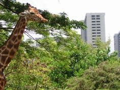 Honolulu Zoo giraffe, who looks taller than the buildings!
