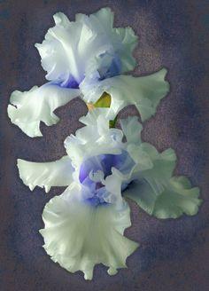 "Tall Bearded Iris ""Wintry Twins"", a beautiful farm flower Amazing Flowers, My Flower, Beautiful Flowers, Beautiful Farm, Iris Flowers, Planting Flowers, Bearded Iris, Bearded Men, Flower Pictures"