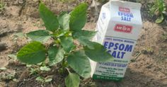 15 ways Epsom salt can help your garden grow better - People typically use Epsom salt in the bathroom to relieve aches and pains or internally as a laxative, but it is also a garden additive that expert gardeners swear by. It can help you produce lush, healthy plants, flowers and trees.