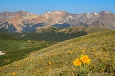 alpine sunflower, never summer mountains, gore range