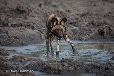 Get the picture with a photographic tour of our camps. African Wild Dog, Okavango Delta, Wild Dogs, Predator, Lodges, Wilderness, Safari, Period, Pup
