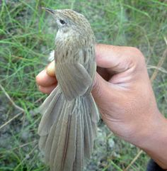 The birds have now been identified as Rufous-vented Prinia, bringing Nepal's total bird list to 862 species. Belonging to Prinia burnesii species, the new bird has been named Nepal Rufous-vented Prinia or Prinia burnesii nipalensis scientifically.
