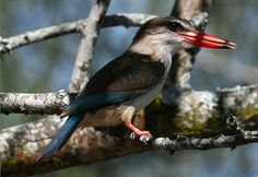 Halcyon albiventris (Brown-hooded Kingfisher)