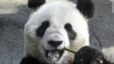Report: Panda 'may have faked pregnancy' for more buns, bamboo @fritillaria I love the photo they chose for this article.  That is one smart panda!