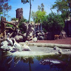 Bosque ribereño de #BIOPARC #Valencia donde habitan hipopótamos pigmeos, pelícanos, sitatungas y diferentes especies de primates amenazados como los driles. #ExperienciasBioparc | #igersValencia #igValencia #igersBioparc #pygmyhippo #drill #pelican #AfricaEnValencia #Bioparco #Биопарк #Валенсии #picoftheday #valenciagrafias #valenciagram #valenciagramers #BioparcValencia #primavera2017 #hippopotamus #hippos #pelicans
