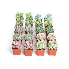 Assorted Mix - String of Pearls Plant - Succulent - Succulents & Cactus Plants - Plants & Garden Flowers - The Home Depot Types Of Succulents, Cacti And Succulents, Planting Succulents, Cactus Plants, Watering Succulents, Succulent Gardening, Succulent Cuttings, Succulent Care, Succulent Pots