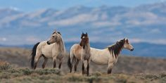 Image from http://www.jessleephotos.com/wild_horse2/content/bin/images/large/_Wild_Horse_Photo_MG_8152.jpg.
