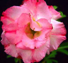 "ADENIUM OBESUM DESERT ROSE ""Full-moon"" 55 SEEDS"