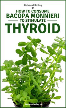 Hypothyroidism is a disorder in which the thyroid gland slows in activities, which causes little production of important hormones. Hypothyroidism Diet Plan, Thyroid Diet, Thyroid Gland, Thyroid Hormone, Thyroid Health, Underactive Thyroid, Medicinal Plants