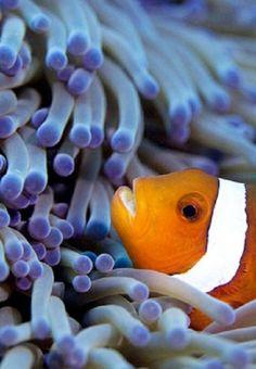 http://theoceaniswonderful.tumblr.com/post/81194421523/clownfish4jpg-by-scubaschnauzer