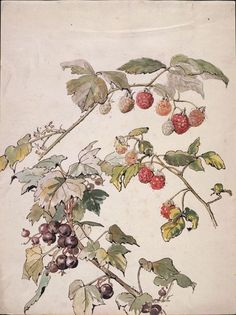 pagewoman:  Beatrix Potter :Blackberry and blackcurrant c1905