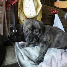 Tigger - 4 weeks old and Slated for Euthanasia - Tigger is a 4 week old puppy that was slated for euthanasia on     Thursday August 21 along with his two brothers and his 2 year old   mother at Walter Crowe Animal Shelter. The only     reason for this was a simple matter of space at the   ...