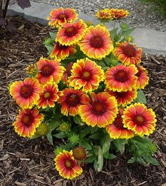 Blanket Flower:Arizona Sun - Gaillardia.We just planted it and love it! Flowers continuously and is drought tolerant. Attracts Butterflies.