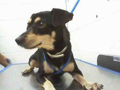 ON KILL LIST - CRUNCHY (A1645767) I am a male black and tan Terrier mix. The shelter staff think I am about 2 years old. I was found as a stray and I may be available for adoption on 09/24/2014. — hier: Miami Dade County Animal Services. https://www.facebook.com/urgentdogsofmiami/photos/pb.191859757515102.-2207520000.1411328459./842078885826516/?type=3&theater