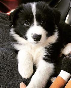 Most up-to-date Absolutely Free Border Collies baby Thoughts A Edge Collie hails with the borderlands regarding The uk as well as Scotland (hence the identity! Border Collie Puppies, Collie Dog, Border Collies, Cute Dogs And Puppies, I Love Dogs, Doggies, Female Dog Names, Australian Shepherds, Yorkshire Terrier Puppies