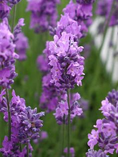 English Lavender... For East Side of house