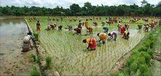 Harvesting paddy fields