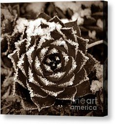 Frosty Succulent in Sepia Photograph by Chalet Roome-Rigdon - Frosty Succulent in Sepia Fine Art Prints and Posters for Sale