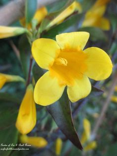 Carolina Jasmine ~ perennial vine (Garden of Len & Barb Rose)