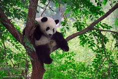 Beijing Zoo, China   I saw the giant pandas and they were really moving around while I was there, not just sleeping!