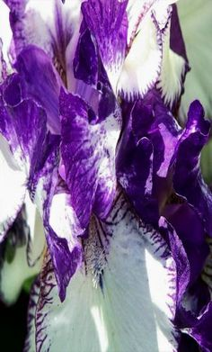 Flower 5x7 photo Purple and White Iris by ShawnelizaCreations, $15.00 #RT #jebnr