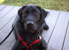 Black Labrador Retriever Mr. Bingley