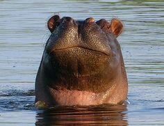 Smiling hippo.